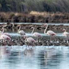 Flamingos Monte Gordo