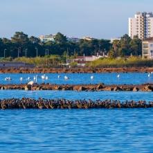 Flamingos Monte Gordo - Sapal Castro Marim e VRSA (2km north)